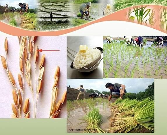 دانلود پاورپوینت تثبیت بیولوژیكی نیتروژن در مزارع برنج